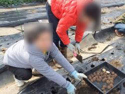 馬鈴薯の定植