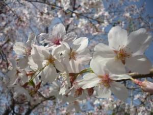 桜を見に行こう!ウォーキング