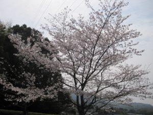 桜を見に出かけよう