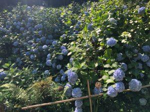 体力向上企画❀紫陽花を見に行こう