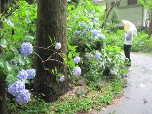 雨の日の紫陽花を見に行こう☔